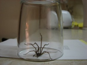 Stan Carey - house spider in glass