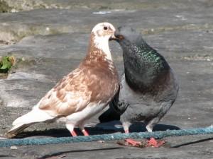 Stan Carey - love life of pigeons 2