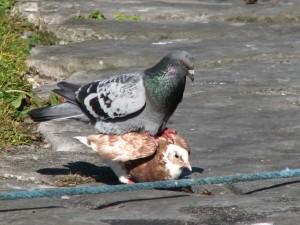 Stan Carey - love life of pigeons 3