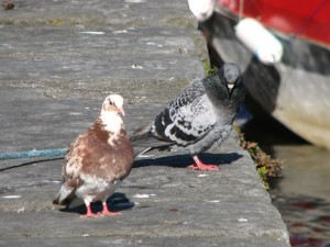 Stan Carey - love life of pigeons 4