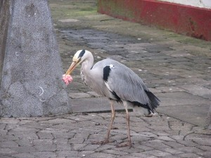 Stan Carey - heron at Spanish Arch 17, Galway