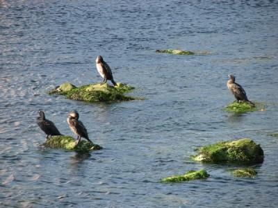 Stan Carey - cormorant 3, Galway