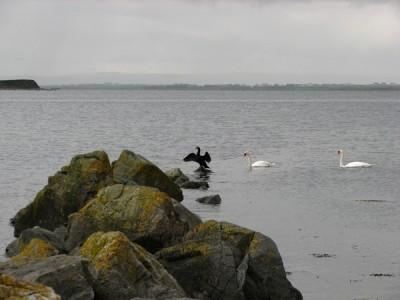 Stan Carey - cormorant 4, Galway