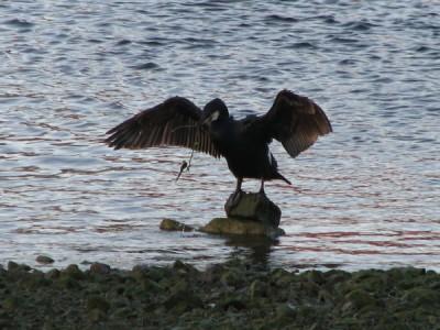 Stan Carey - cormorant 5, Galway