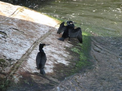 Stan Carey - cormorant 9, Galway