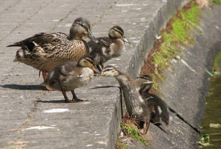 Stan Carey - ducklings in Cork