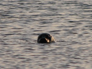 Stan Carey - seal in Galway Bay