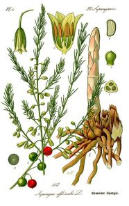 "Asparagus officinalis, also ""sparrow grass"""