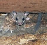 Dormouse in a house