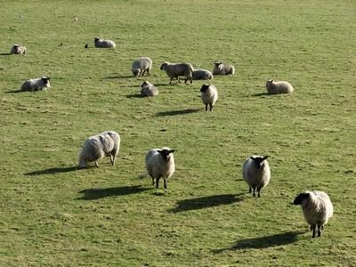 stan carey - herd of sheep in Ireland, spring 2009 - yan tan tethera
