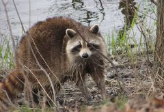 Raccoon female by river in Ottawa Canada
