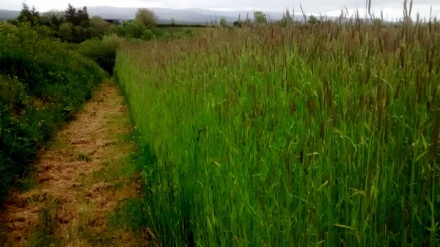stan carey - scariff Irish seed savers - tall grass up to your oxters