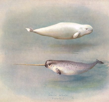 Illustration from the 1920 book British Mammals. On a grey-pink-blue background, a plump white beluga whale swims from left to right. Below it, a narwhal swims from right to left. It is white underneath, with a speckled grey top, dark fins and tail, and a pale brown sharp spiral tusk.