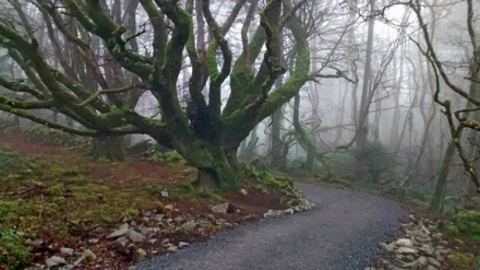 From the foreground a gravel path veers right then left around a wooded corner. Dominating the scene is a beech tree, its many curving branches bare but covered in green moss. Behind it there are lots of younger trees, all bare of leaves, and made dim by thick mist.