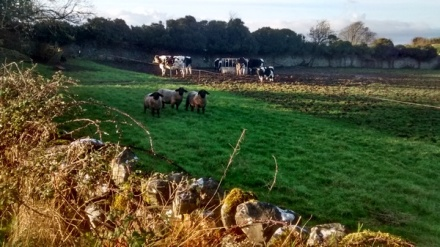 View of a field, in which grass gives way to very mucky ground. In the bottom left, the sun shines on briars growing against a low stone wall. Behind it, a few yards into the field, three black-headed sheep face the camera. Beyond them, a half dozen cattle stand near a feeding pen. Behind them is a wall with trees and a pale blue sky above.