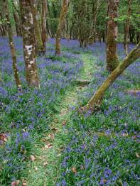 A narrow grassy path through a dense carpet of bluebells, with a scattering of lichen- and moss-covered trees. Some brown leaves have fallen, but most remain on the trees. The colour of the blubells dominates the photograph.